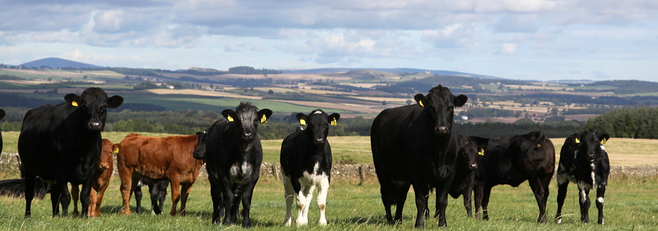 Cows and calves at Upper Nisbet Farm